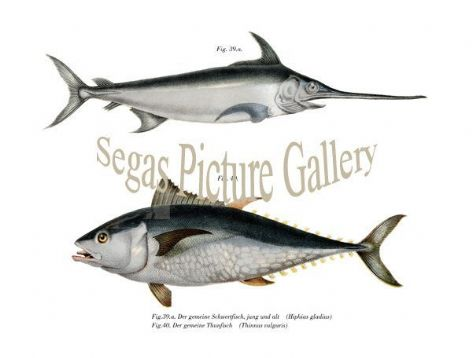 Fine art print of the common swordfish, young and old, common tuna